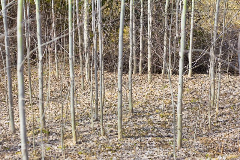 Aspen grove, spring forest, bare trees without leaves, spring awakening stock photos