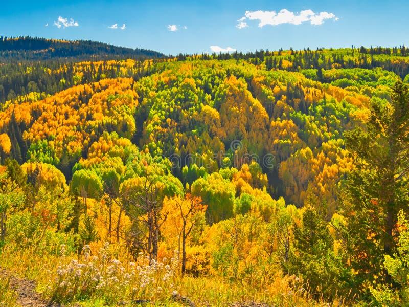 Aspen Grove sulla grande MESA immagine stock