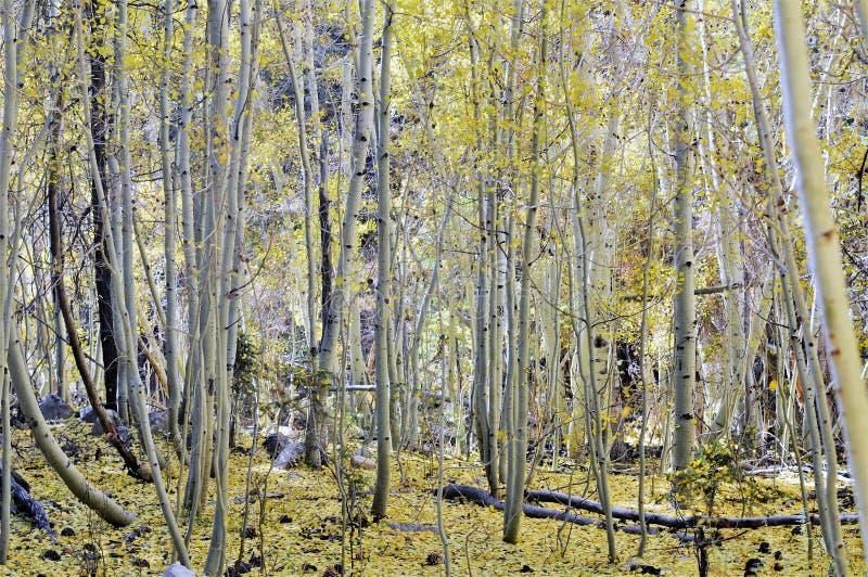 Aspen Grove With Yellow Fallings-Blätter im Herbst lizenzfreies stockbild