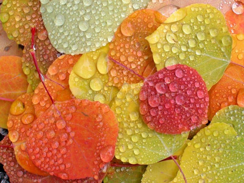 Aspen lämnar med raindrops royaltyfri bild