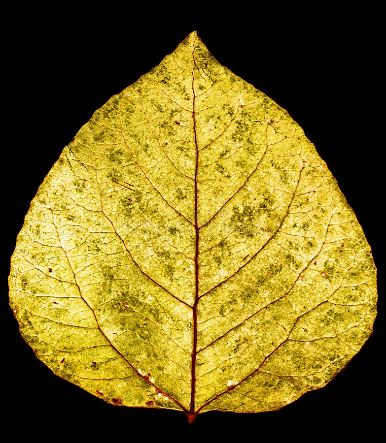 Free Aspen Leaf Royalty Free Stock Images - 1106969