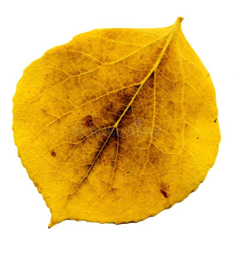 Download Aspen leaf stock photo. Image of yellow, leaf, vains, aspen - 677656