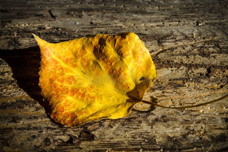 Aspen Leaf al tramonto fotografie stock