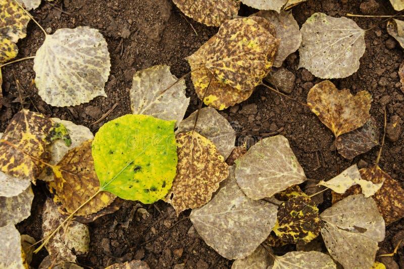 Aspen Leaf On Ground verde e amarelo imagem de stock