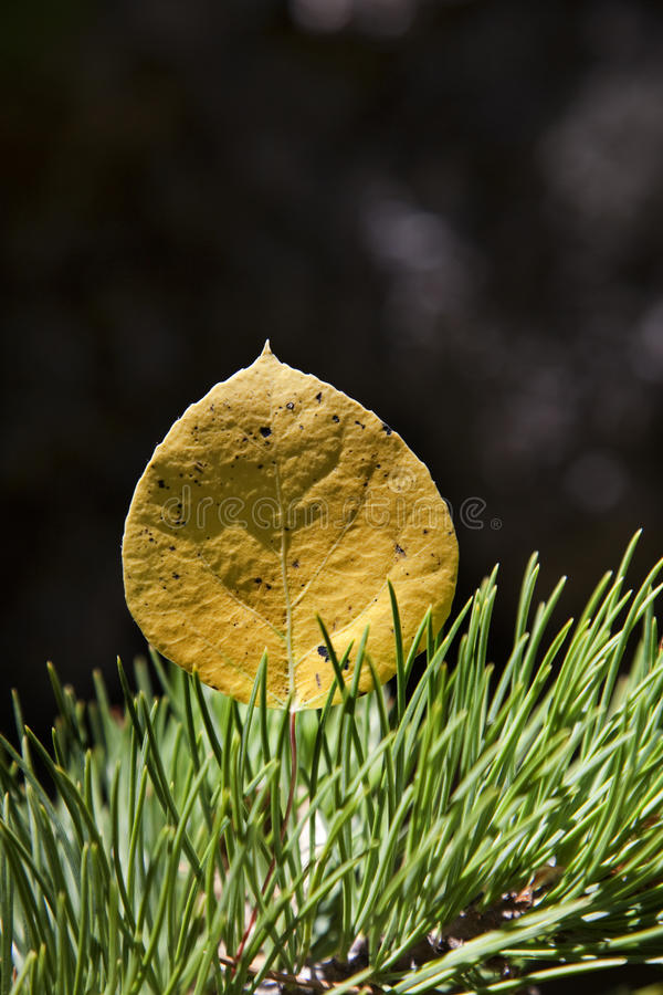 Download Aspen Leaf _MG_4489 stock image. Image of foliage, park - 16476201