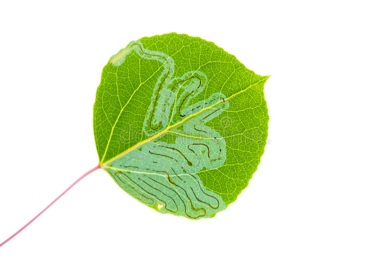 Aspen leaf miner royalty free stock photography