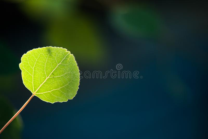 Aspen Leaf på blått- och gräsplanbakgrund arkivfoton