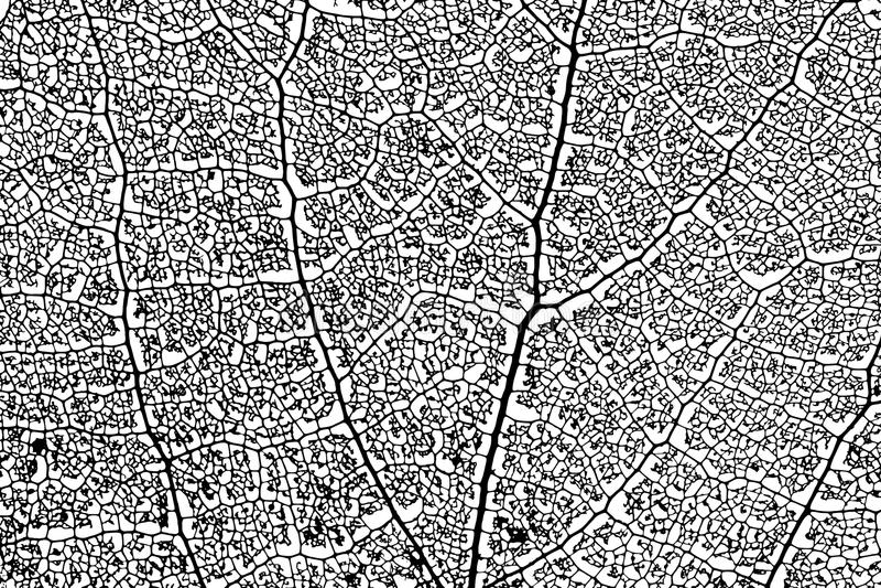Aspen leaf skeleton. Skeleton aspen leaf natural abstract texture vector silhouette stock illustration