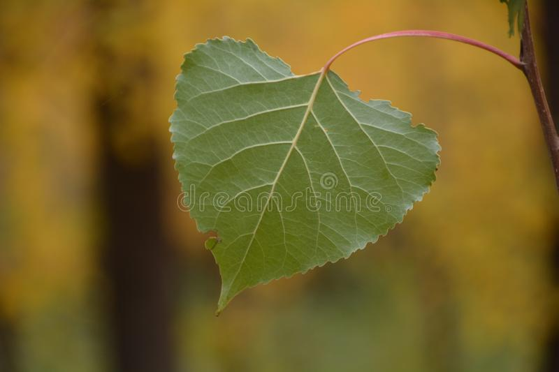 Aspen Leaf at Tree Farm in Central Oregon royalty free stock image