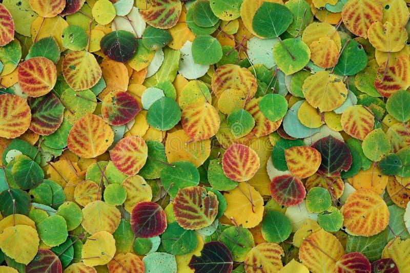 Aspen Leaves royalty free stock photos