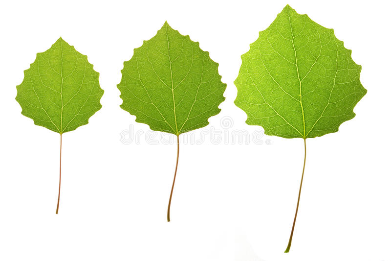 Aspen Leaves Stock Photography