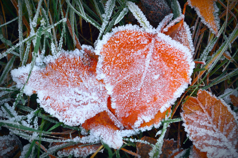 Aspen leaves in the frost