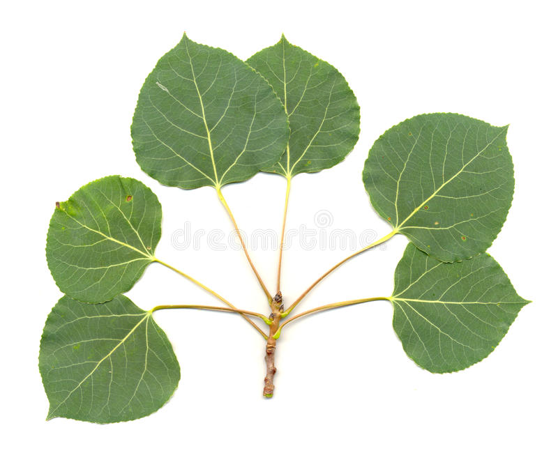 Aspen Leaves isolated royalty free stock photos