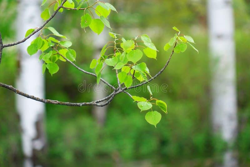 Aspen Leaves - Missoula, Montana photographie stock libre de droits