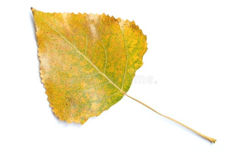 aspen liści, zdjęcia stock