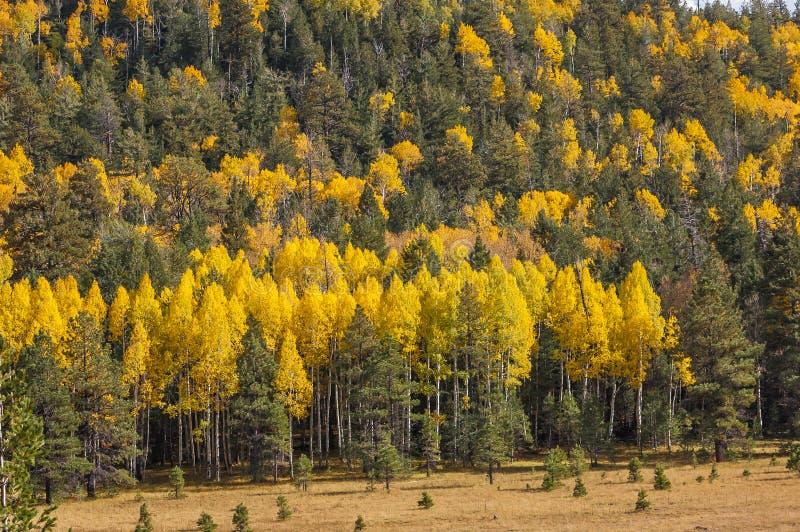 Aspen meadow royalty free stock photo
