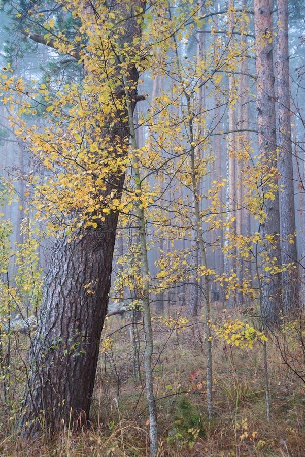 Aspen na floresta do outono imagem de stock royalty free