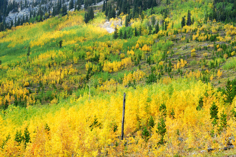 Aspen and pine forests royalty free stock images