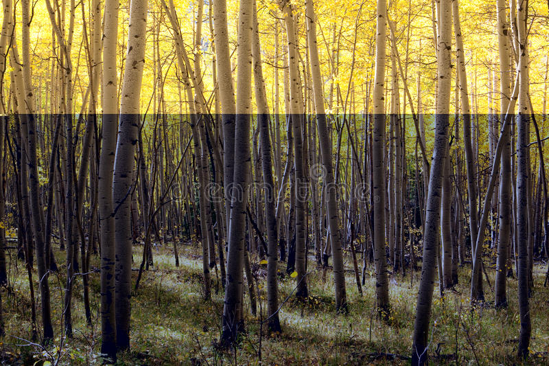 Aspen Stand stock photography