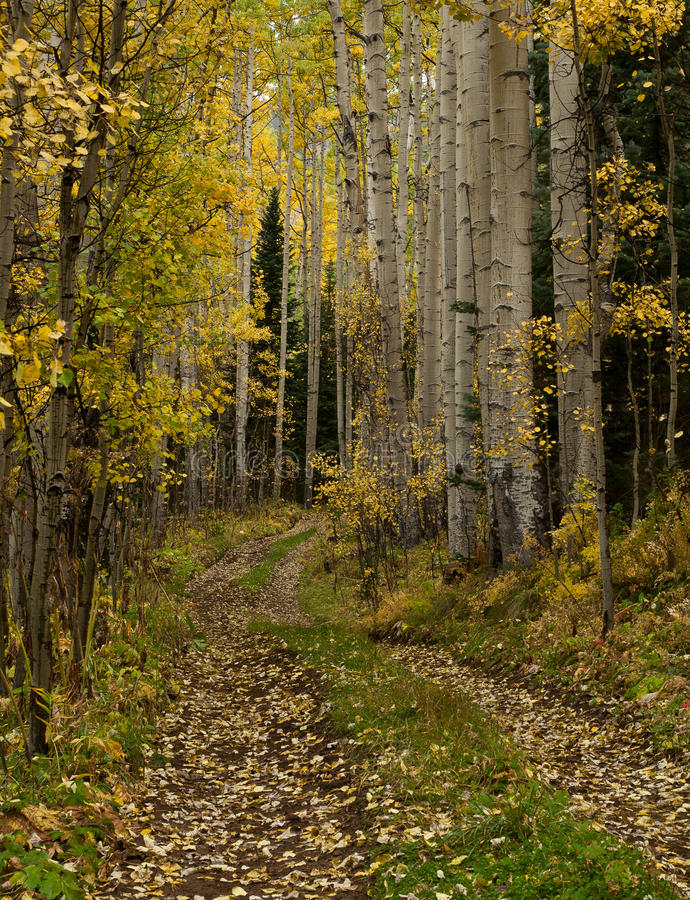 Download Aspen Trail stock image. Image of telluride, forest, leaves - 25204863