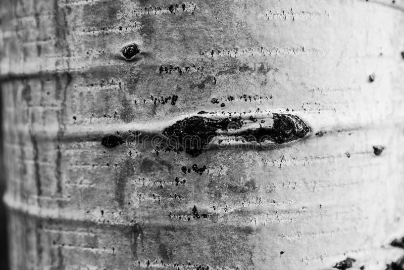 Aspen Tree fotos de archivo libres de regalías