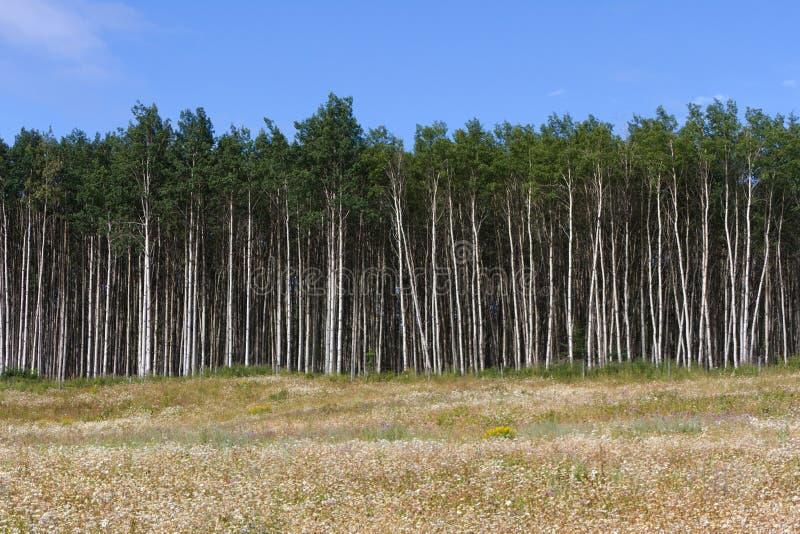 Aspen Tree royalty-vrije stock foto's