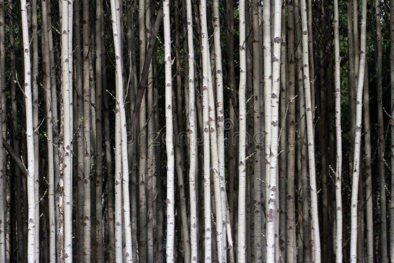 Aspen Tree stock afbeelding