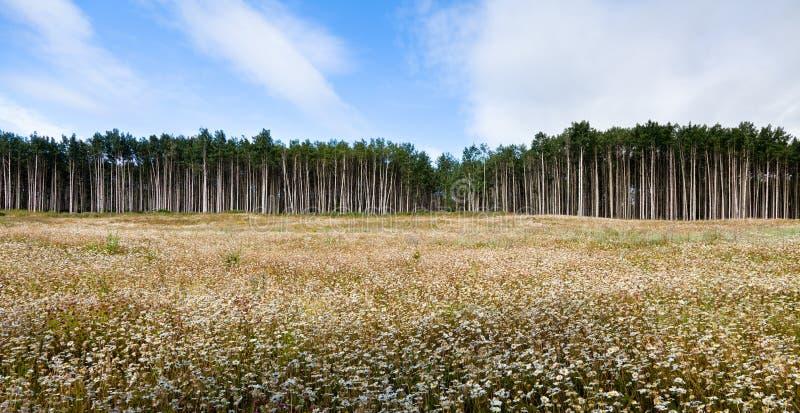 Aspen Tree stock foto's