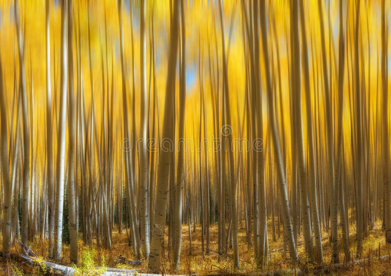 Aspen Tree Abstract Motion Blur amarelo imagens de stock royalty free