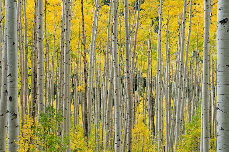 Aspen tree in Aspen royalty free stock photo
