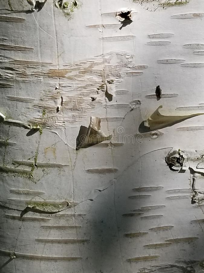 Aspen tree bark. Nature, background, botany royalty free stock photography