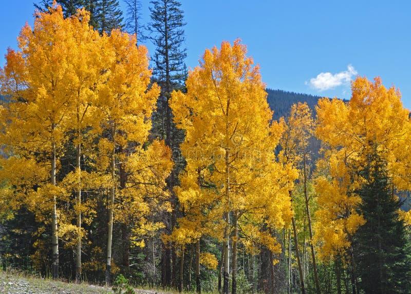 Aspen Tree Brilliance stock photos