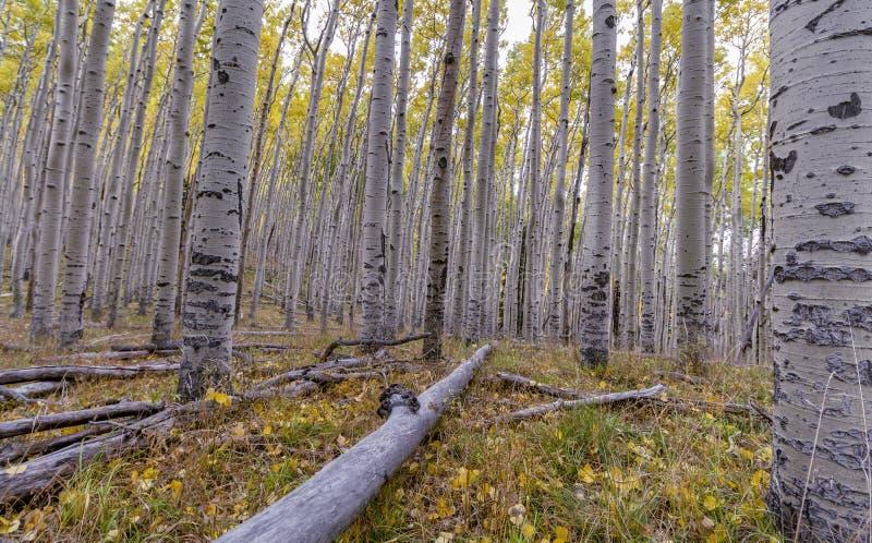 Aspen Tree Forest Near Flagstaff Arizona arkivbilder