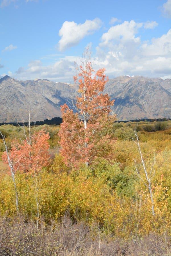 Aspen Tree i storslagna Teton NP arkivbilder