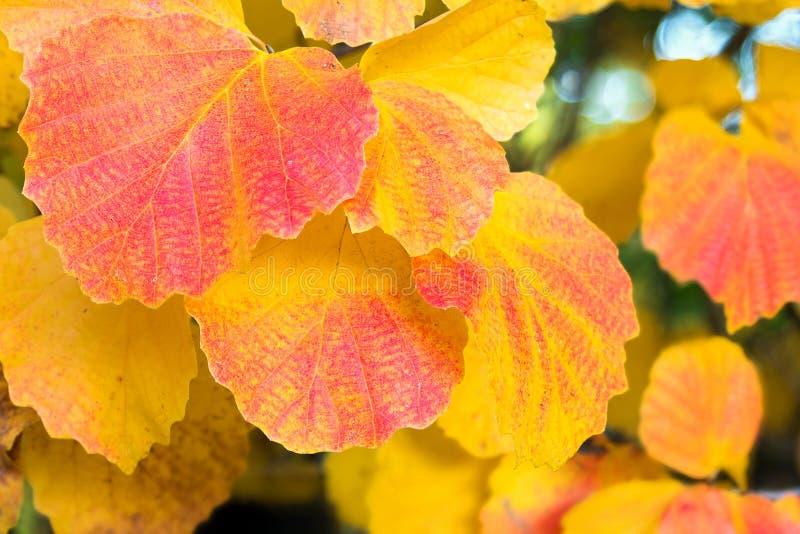 Aspen Tree Leaves Fall Color stock photos