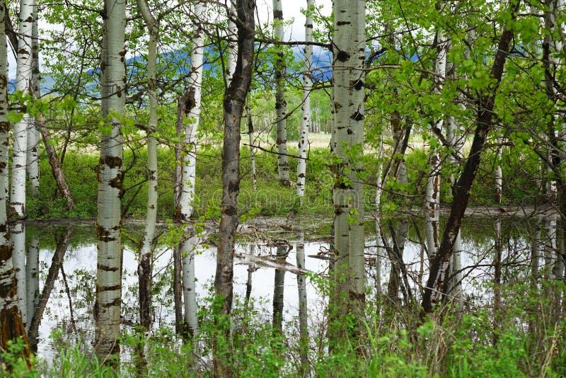 Aspen Tree Reflections près de Missoula, Montana images stock