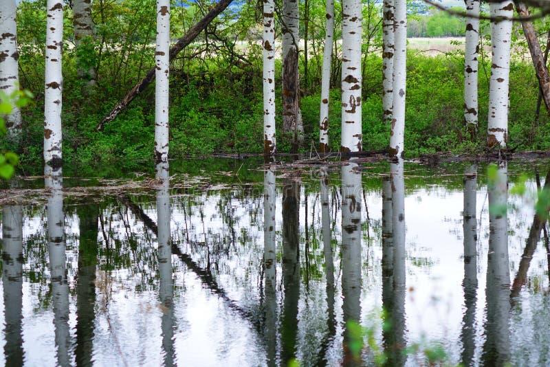 Aspen Tree Reflections près de Missoula, Montana photographie stock