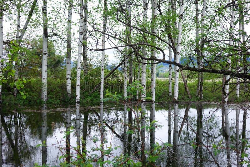 Aspen Tree Reflections près de Missoula, Montana image libre de droits
