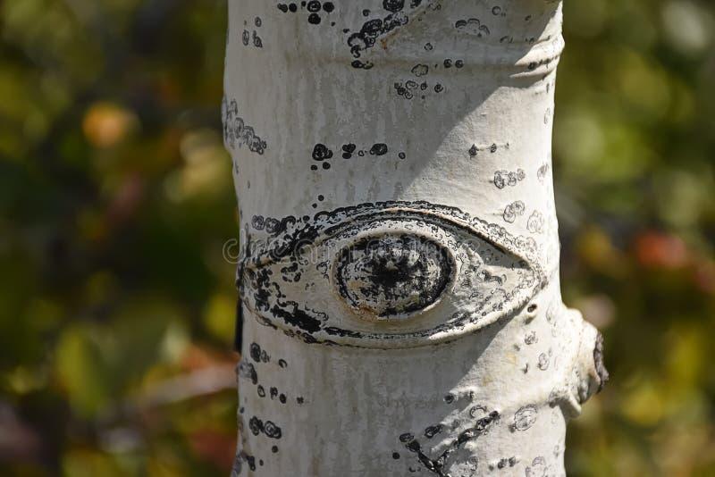 Aspen Tree Trunk Detail Eye imagens de stock royalty free