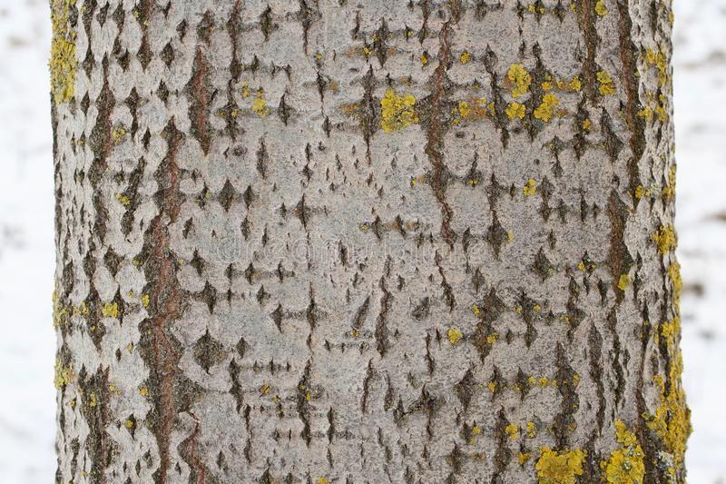 Aspen tree trunk with gray bark with some yellow-greenish lichen stock image