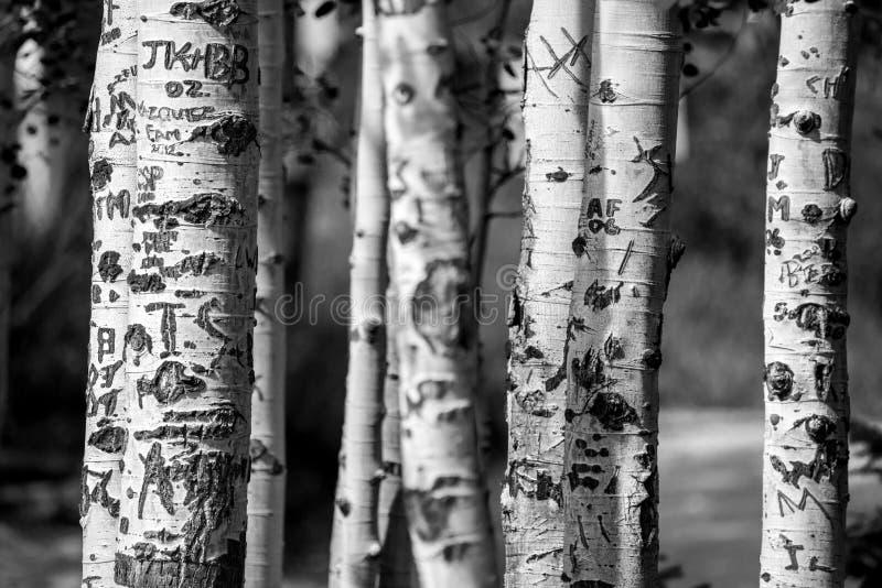 Aspen tree trunks carved graffiti stock image of