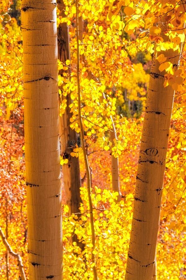 Aspen Trees lizenzfreie stockfotos