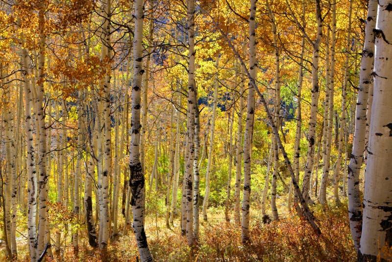 Aspen Trees stockfotografie