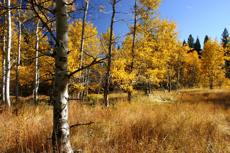 Download Aspen Trees stock image. Image of seasonal, woods, wooded - 470555