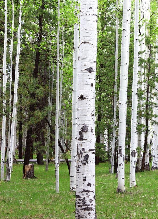Aspen Trees foto de archivo libre de regalías