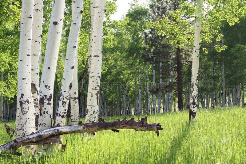 Aspen Trees imagen de archivo