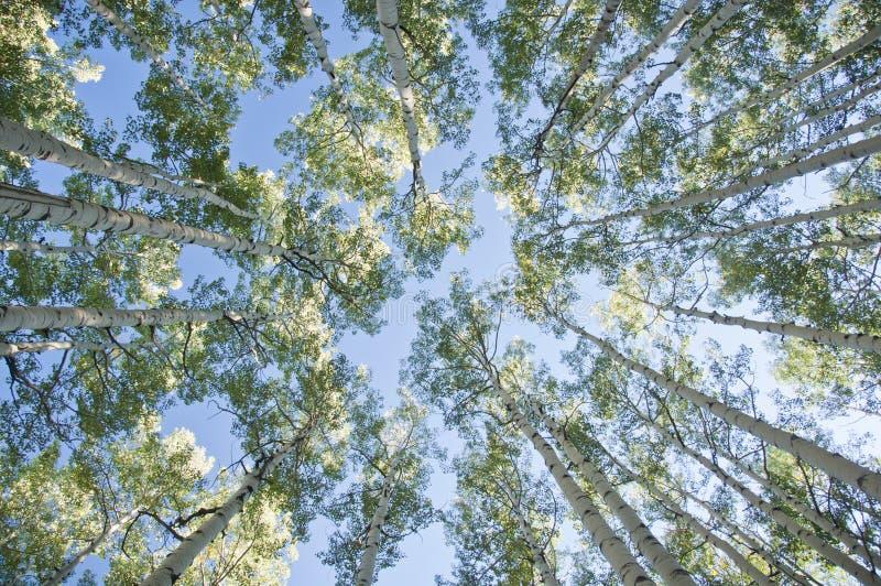 Aspen Trees stock afbeeldingen