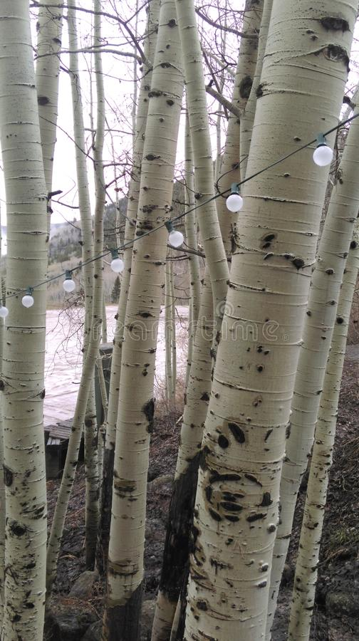 Aspen Trees fotos de stock royalty free