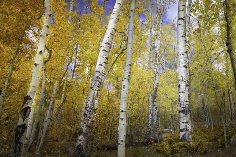 Aspen Trees photo stock