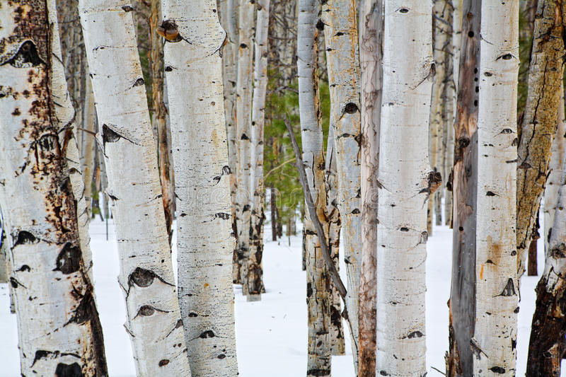 Download Aspen trees stock image. Image of black, landscape, snow - 9752301